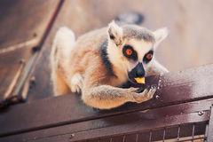 Ring-tailed lemur feeding Stock Photos