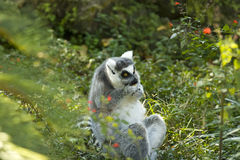 A ring-tailed lemur feeding Stock Photography