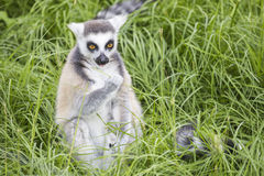 Ring-tailed lemur feeding in the grass Stock Photo