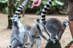 The ring-tailed lemur feeding by zoo worker in Bali Zoo, Indonesia. Royalty Free Stock Images