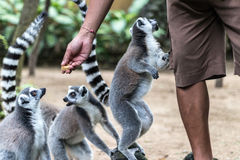 The ring-tailed lemur feeding by zoo worker in Bali Zoo, Indonesia. Royalty Free Stock Photography