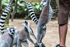 The ring-tailed lemur feeding by zoo worker in Bali Zoo, Indonesia. Royalty Free Stock Image