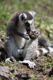 Ring Tailed Lemur foraging on ground Royalty Free Stock Images
