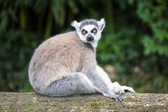 Ring-tailed lemur in forest Royalty Free Stock Photo