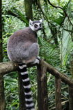Ring Tailed Lemur 1. Ring tailed Lemur on a forest trail Stock Images