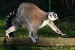 Ring-tailed lemur - France Royalty Free Stock Images