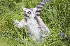 Ring-tailed lemur grabbing a blade of grass Royalty Free Stock Photo