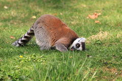 Ring-tailed lemur. The ring-tailed lemur on the grass Royalty Free Stock Photo