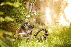 Ring-tailed lemur Royalty Free Stock Photos
