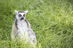 Ring-tailed lemur in the grass Royalty Free Stock Photos