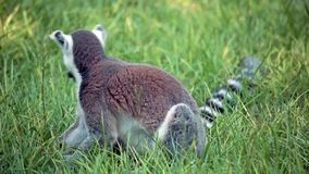 Ring-Tailed Lemur In The Grass (Lemur Catta) Royalty Free Stock Photography