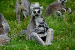 Ring tailed lemur grooming its tail whilst sitting in a family group Stock Photo