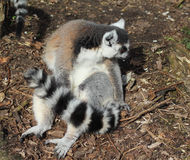 Ring tailed lemur group Royalty Free Stock Photography