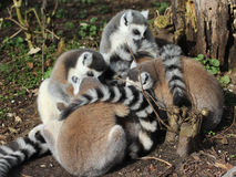Ring tailed lemur group Stock Photography