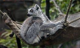 Ring-tailed lemur 20 Stock Photos