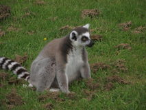 Ring tailed lemur. Happily sat pn the grass watching the world go by Stock Image