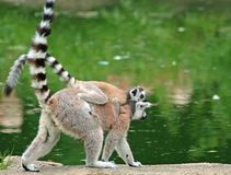 Ring-tailed Lemur with her baby. On her back by the water royalty free stock photos