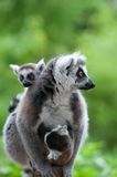 Ring-tailed lemur with her cute babies Royalty Free Stock Photo