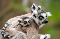 Ring-tailed lemur with her cute babies. Close-up of a ring-tailed lemur with her cute babies (Lemur catta royalty free stock image