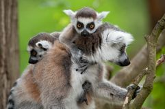 Ring-tailed lemur with her cute babies. Close-up of a ring-tailed lemur with her cute babies (Lemur catta stock image