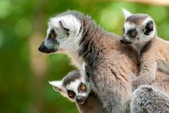Ring-tailed lemur with her cute babies. Close-up of a ring-tailed lemur with her cute babies (Lemur catta royalty free stock photography