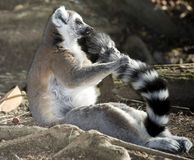 Ring tailed lemur holding tail madagascar Stock Image