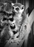Ring Tailed Lemur Royalty Free Stock Image