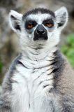 Ring-tailed lemur. Is instantly recognisable due to its long, bushy, black-and-white ringed tail Stock Photography