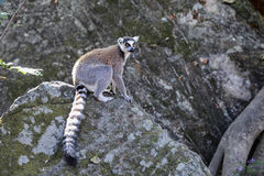 Ring-tailed lemur, isalo, madagascar Royalty Free Stock Photo