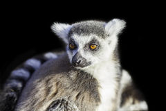 Ring-tailed lemur isolated against black backgound Stock Image
