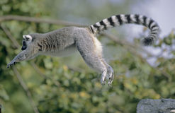Ring-tailed Lemur jumping Stock Photography