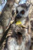 Ring Tailed Lemur kata ,Close up Ring-tailed lemur baby and mother, mother breastfeeding her baby. Wild nature Magdagascar royalty free stock photos