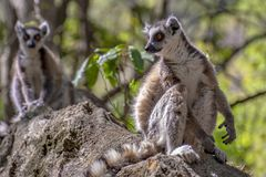 Ring Tailed Lemur kata ,Close up Ring-tailed lemur, Madagascar,standing on the stone royalty free stock photo