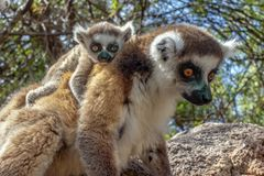 Ring Tailed Lemur Kata ,Close Up Ring-tailed Lemur Baby And Mother.Wild Nature Madagascar Stock Photo