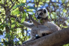 Ring Tailed Lemur kata ,Close up Ring-tailed lemur, Madagascar,eating leaves on the tree royalty free stock photo