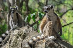 Ring Tailed Lemur kata ,Close up Ring-tailed lemur, Madagascar,standing on the stone stock image