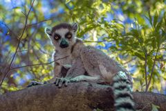 Ring Tailed Lemur Kata ,Close Up Ring-tailed Lemur, Madagascar,sitting On The Tree Royalty Free Stock Images