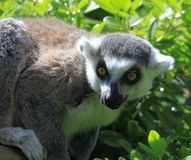 Ring Tailed Lemur klaar op te springen stock foto