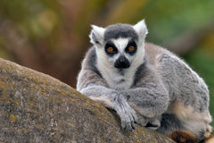Ring-tailed Lemur. The Ring-tailed Lemur is a large primate and the most recognized lemur due to its long, black and white ringed tail. It belongs to Lemuridae Stock Photography