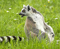 Ring-tailed lemur 3 Stock Images
