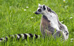 Ring-tailed lemur 13 Stock Images