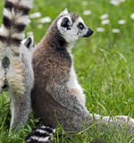 Ring-tailed lemur 14 Stock Photos