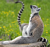 Ring-tailed lemur 15 Royalty Free Stock Photo
