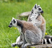 Ring-tailed lemur 16 Stock Photography