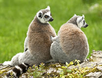 Ring-tailed lemur 18 Stock Images