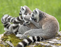 Ring-tailed lemur 19 Stock Image