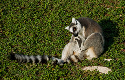 Ring-tailed lemur on lawn Royalty Free Stock Images
