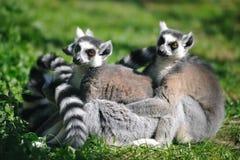 Free Ring-tailed Lemur (Lemur Catta) Royalty Free Stock Photos - 17376568