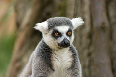Ring tailed lemur (lemur catta) Royalty Free Stock Photo