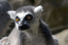Ring Tailed Lemur, Lemur Catta Stock Photography